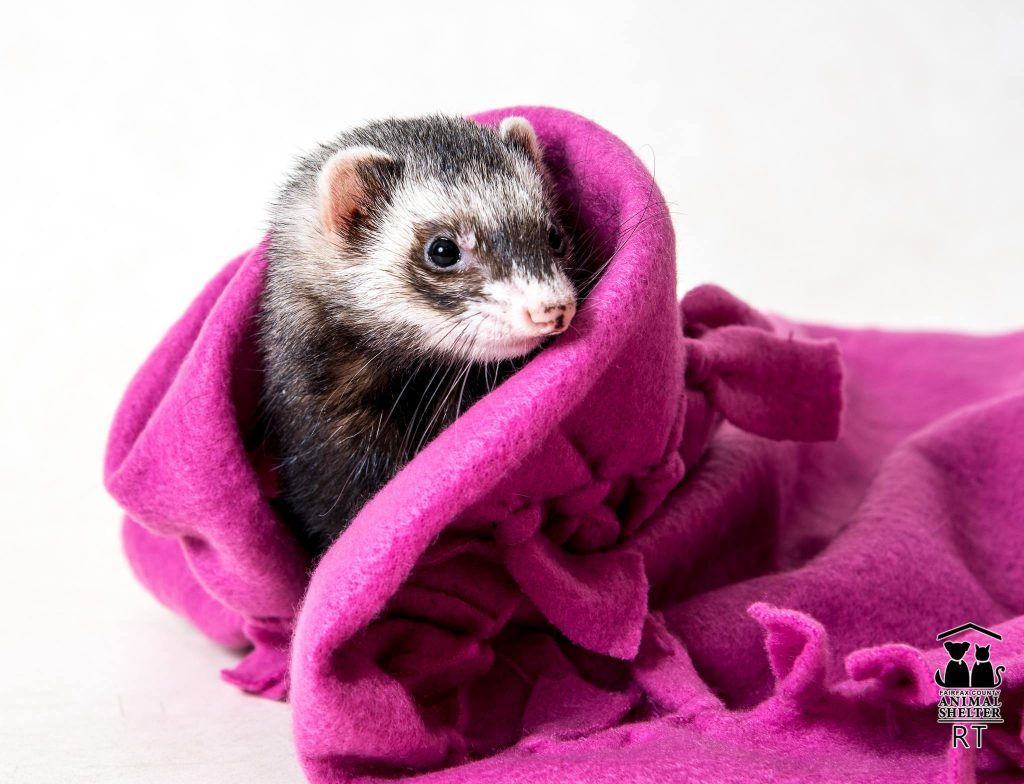 Ferret Zoe wrapped in magenta blanket