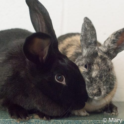 black-and-grey-bunnies