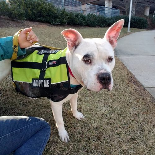 White dog wearing chartreuse adoption vest