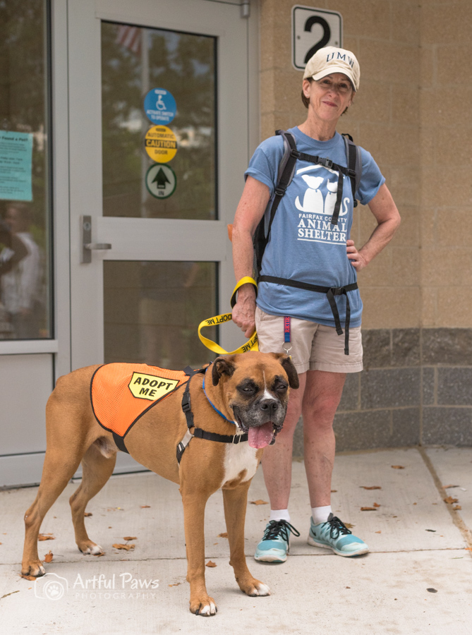 Tan American Staffordshire Terrier mix dog with female volunteer.