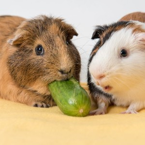 happy guinea pigs friends of fairfax county animal shelter