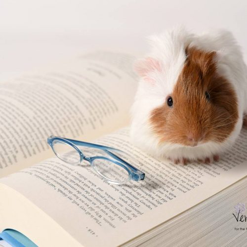 brow-white-guinea-pig-on book